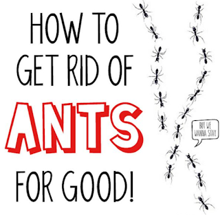 getting rid of ants in the kitchen uk