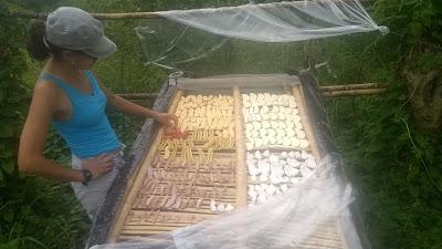 Garden design, permaculture, Livingston Guatemala, swales, contour, regenerative agriculture, Value-adding, drying, solar dryer, flour, chili
