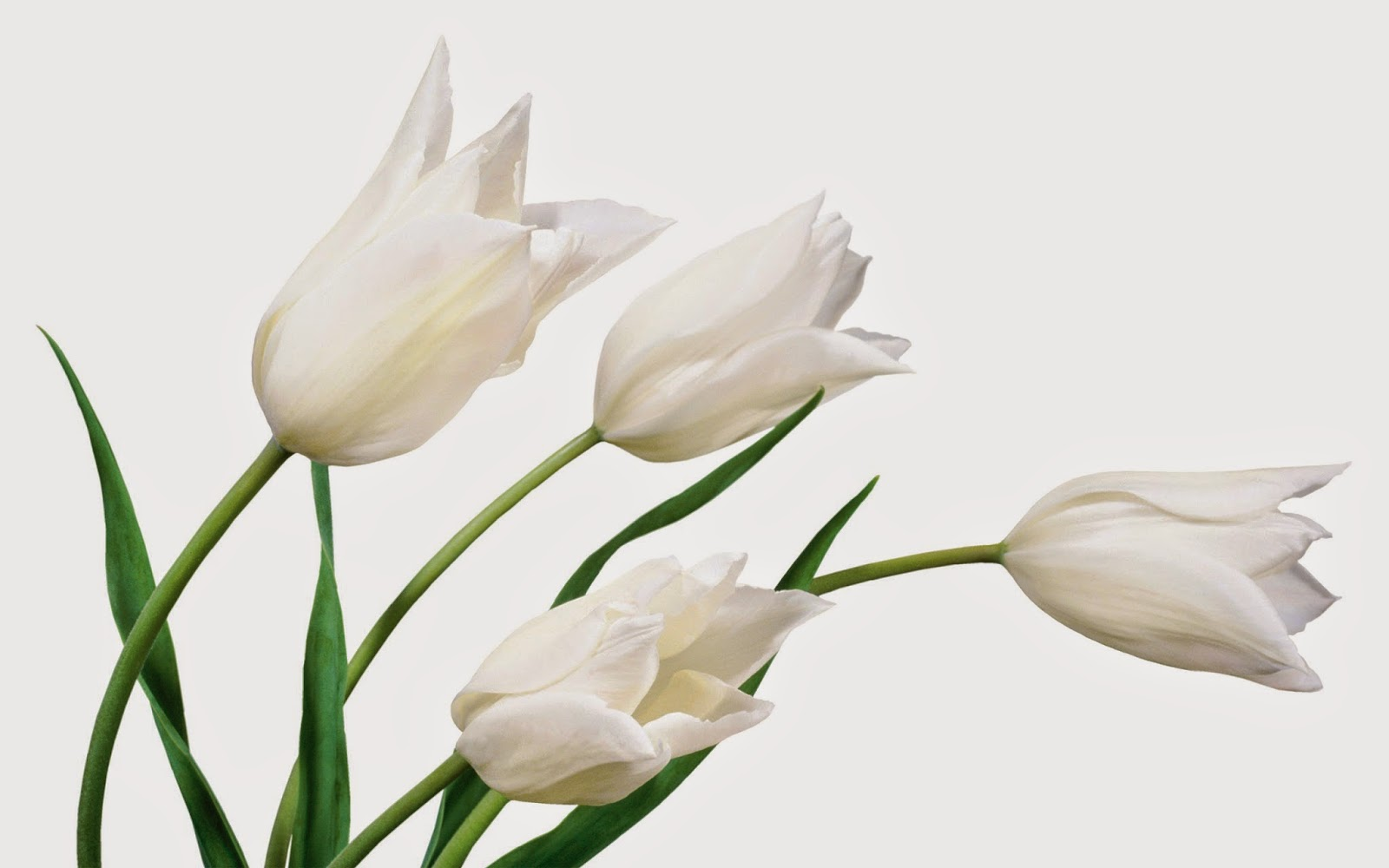 9 Wallpaper Tulip Putih | Deloiz Wallpaper