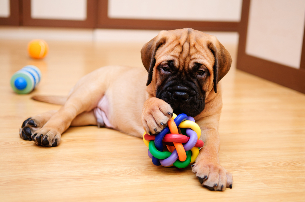Shar-pei-dog-with-toy
