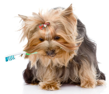 Yorkshire-dog-with-toothbrush