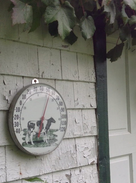 thermometer with a picture of  Holstein cow, on a shed wall