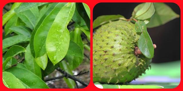 TERBUKTI...!!! Manfaat dan Khasiat dari daun Serta Buah sirsak untuk Kesehatan dalam Jangka Panjang..!!