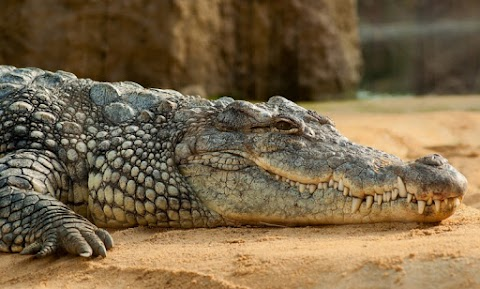 Új afrikai krokodilfajt azonosítottak tudósok