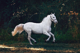 A white horse wearing a head collar galloping in a grass paddock in front of trees
