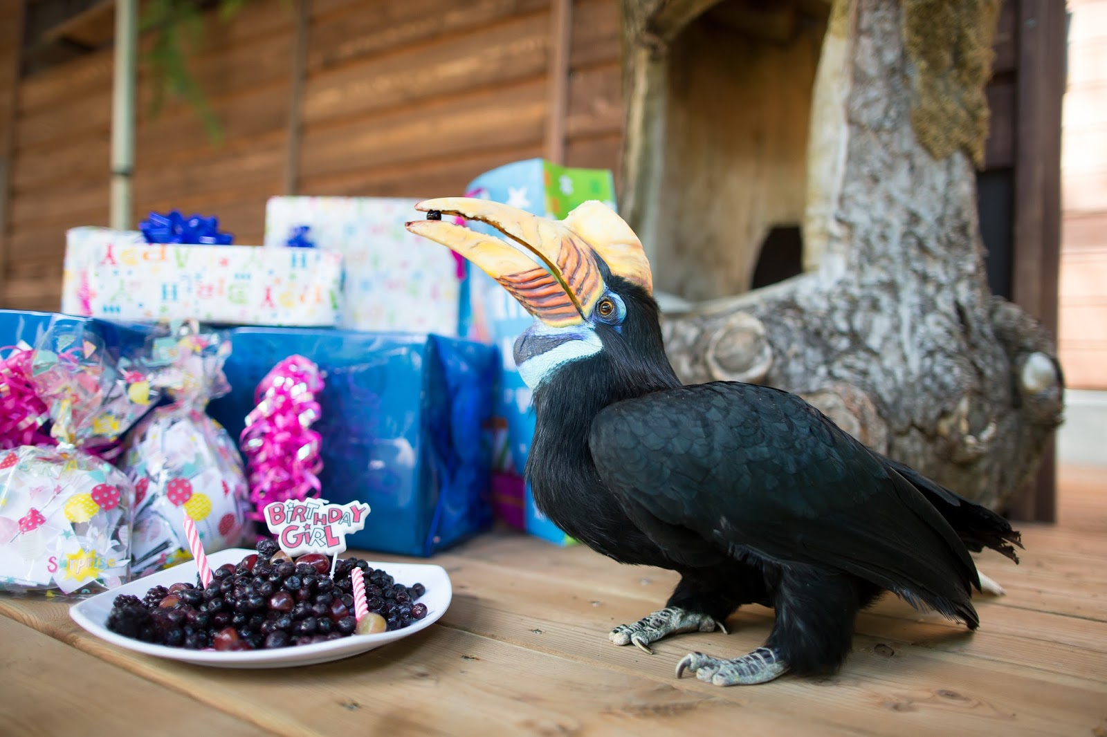 Woodland Park Zoo Blog Happy 20th birthday to hornbill Blueberry