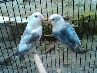 10 tips perawatan lovebird PAUD agar tampil juara