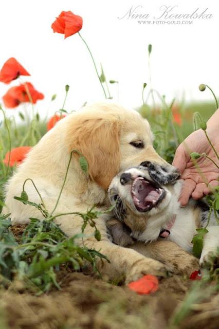 pies, maki, zabawa, welsh corgi, corgi, cardigan, golden retriever, patyk, pogoń, szczeniak, szczeniaczek, papiś