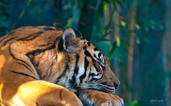 Wallpaper: Sleeping Tiger
