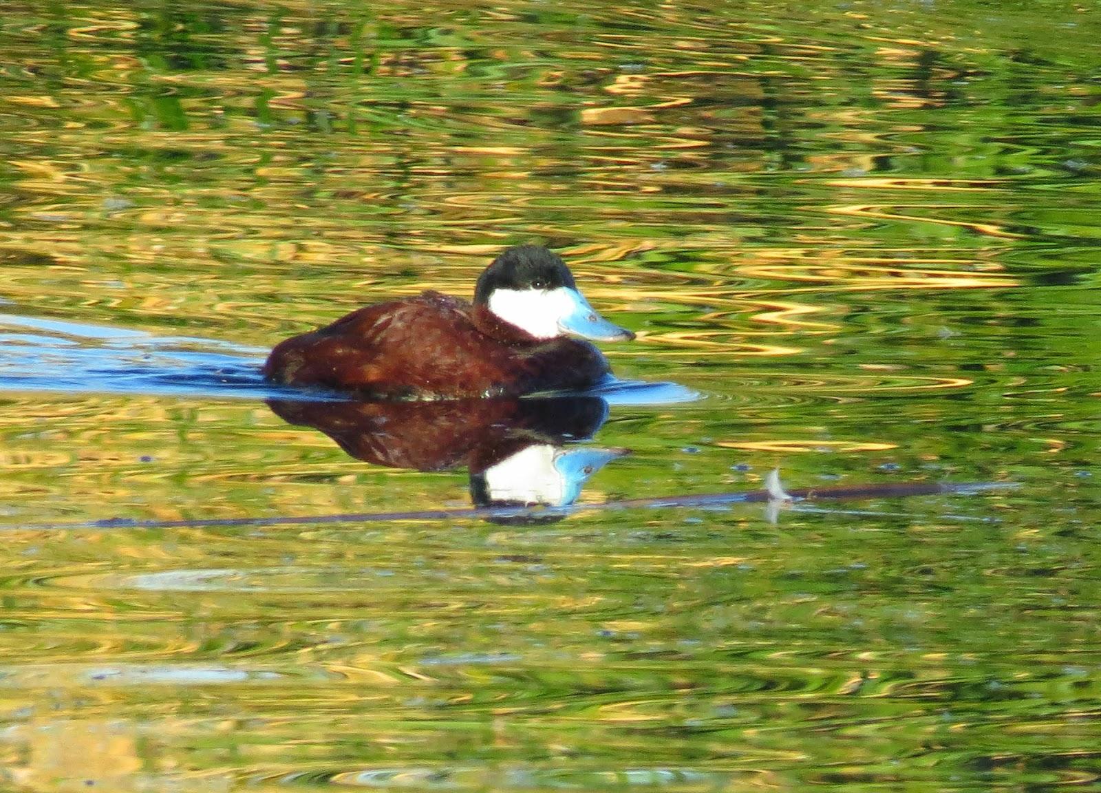 Birds Lake Havasu Az