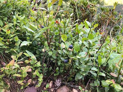 [Ericaceae] Vaccinium myrtillus – Blue Whortleberry, European Blueberry (Mirtillo nero)