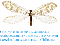 https://sciencythoughts.blogspot.com/2017/11/spilosmylus-spilopteryx-spilosmylus.html