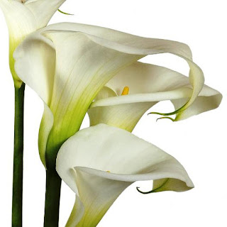 Gambar Bunga Lili Putih Yang Cantik_White Lily 201609