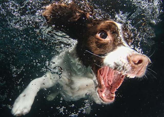 """بالصور.. """"Seth Casteel"""" فنان فوتوغرافي يلتقط صورا غريبة للكلاب تحت الماء!"""