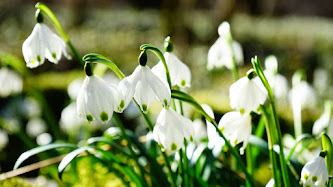 Wallpaper: Forest Snowdrops