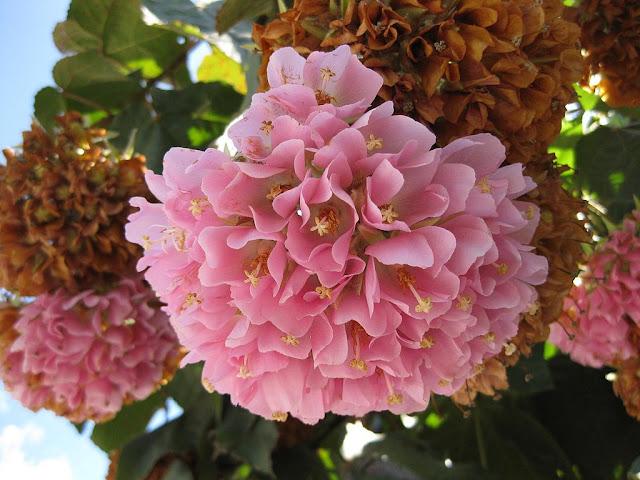 Dombeya_wallichii_%2528Huntington_Garden