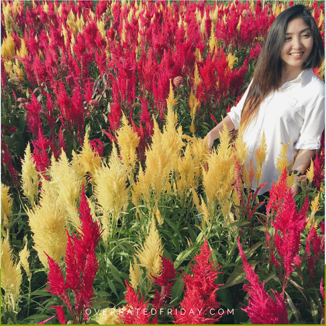 Celosia Flower Farm Cebu