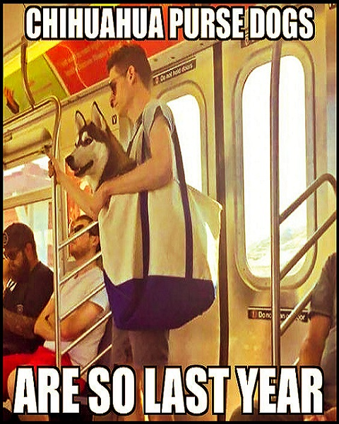 When the subway bans Dogs unless they fit in a bag... besides Chihuahua purse dogs are so last year! #funny #adorable #animals #husky #dogs