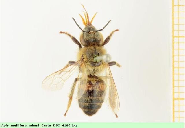 ΕΚΤΑΚΤΟ: Συνταρακτικά νέα για την μέλισσα των κρητικών!!!