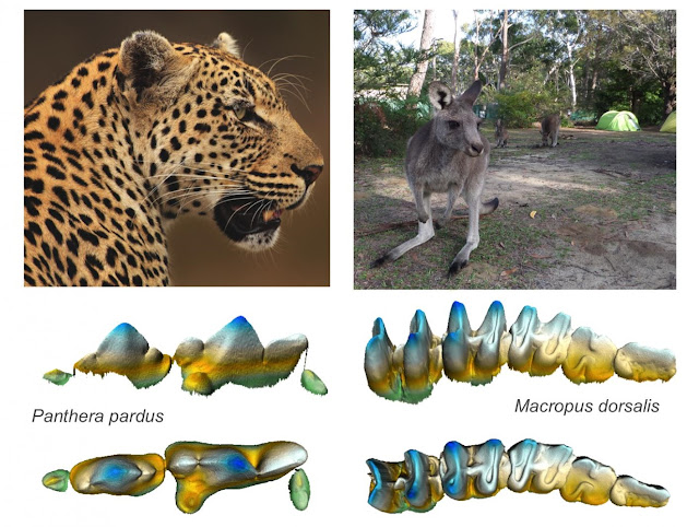 Analysis of diet, teeth of modern mammals opens windows Into life's past and future