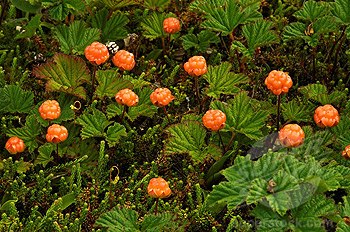 fruit warehouse cloudberry rubus chamaemorus. Black Bedroom Furniture Sets. Home Design Ideas