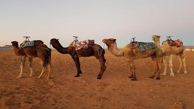 cammelli dromedari nel deserto