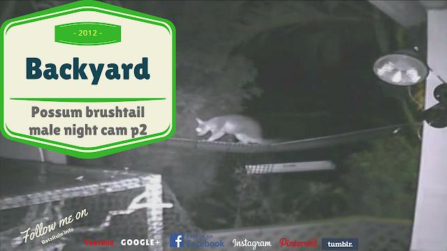 Backyard   Possum   Brush tail male night cam p2