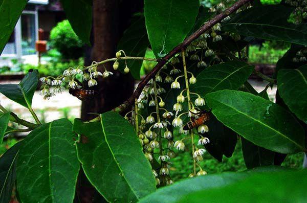 रुद्राक्ष का पेड़  - rudraksh tree in india,5 mukhi rudraksha benefits in hindi