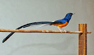 burung murai