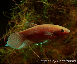 Betta Akarensis Fish Species