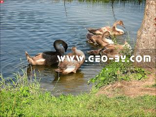 Волчковичское водохранилище. Лебединые стаи