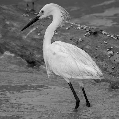 Snowy Egret, Rollover Pass