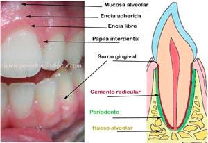 """<Imgsrc =""""Esquema-periodonto-normal.jpg"""" width = """"300"""" height """"206"""" border = """"0"""" alt = """"Imagen combinada del periodonto y esquema."""">"""
