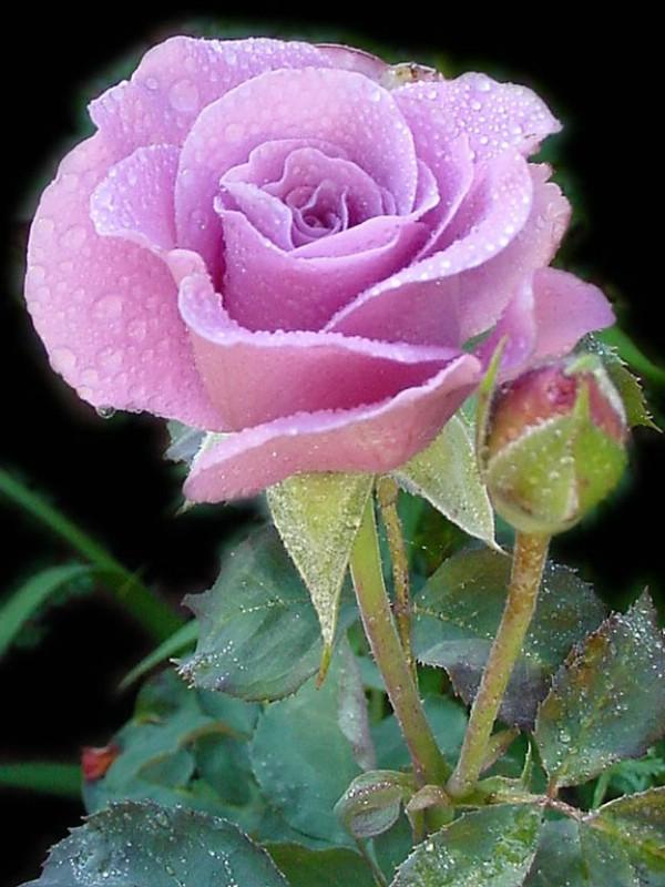 Avenger Blog Purple Rose Flower