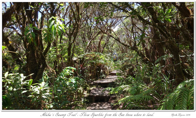 Alaka'i  Swamp Trail: Those Sparkles from the Sun know where to land
