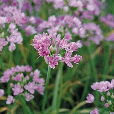 Nenaghgal Alliums I Am Smitten
