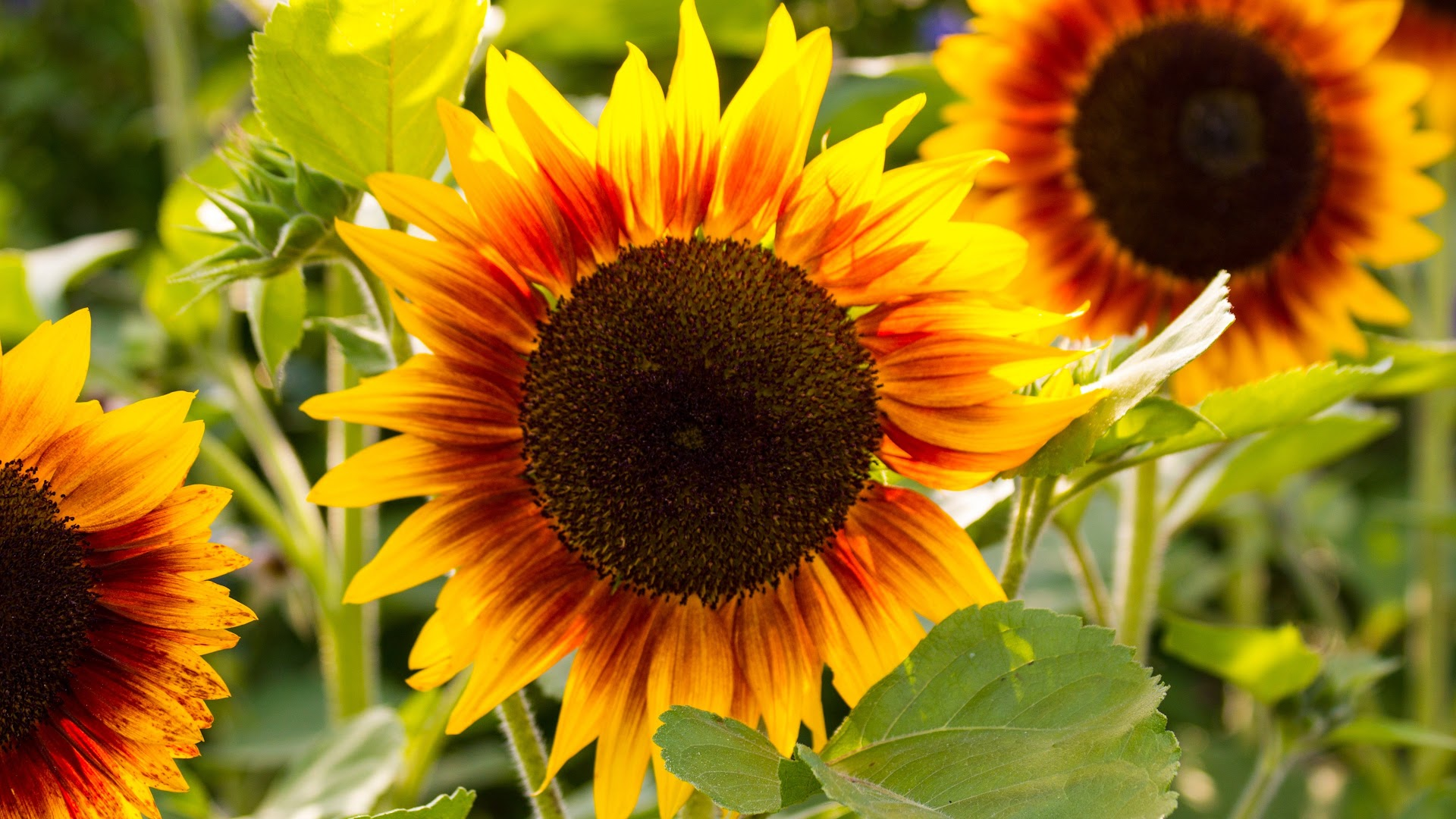summer sunflowers andrea - photo #30