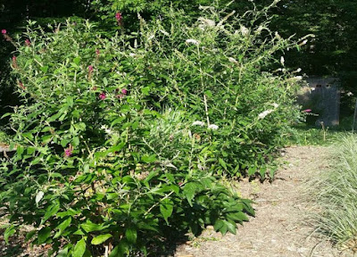 Well-liked Future Plants by Randy Stewart: Butterfly Bush EU53