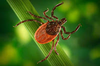 Blacklegged tick (Credit: CDC) Click to Enlarge.