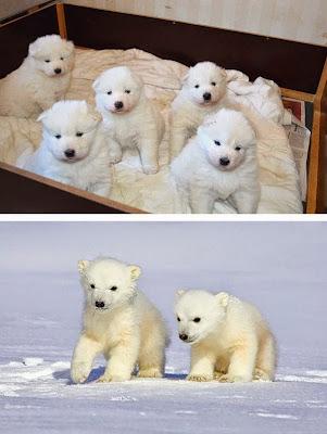 Unos cachorros con un osos polares.