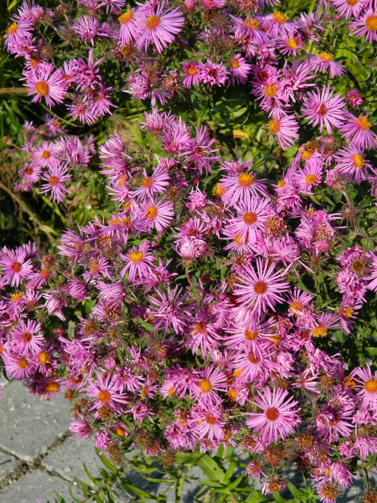 Pink asters at Toronto Botanical Garden by garden muses-not another Toronto gardening blog