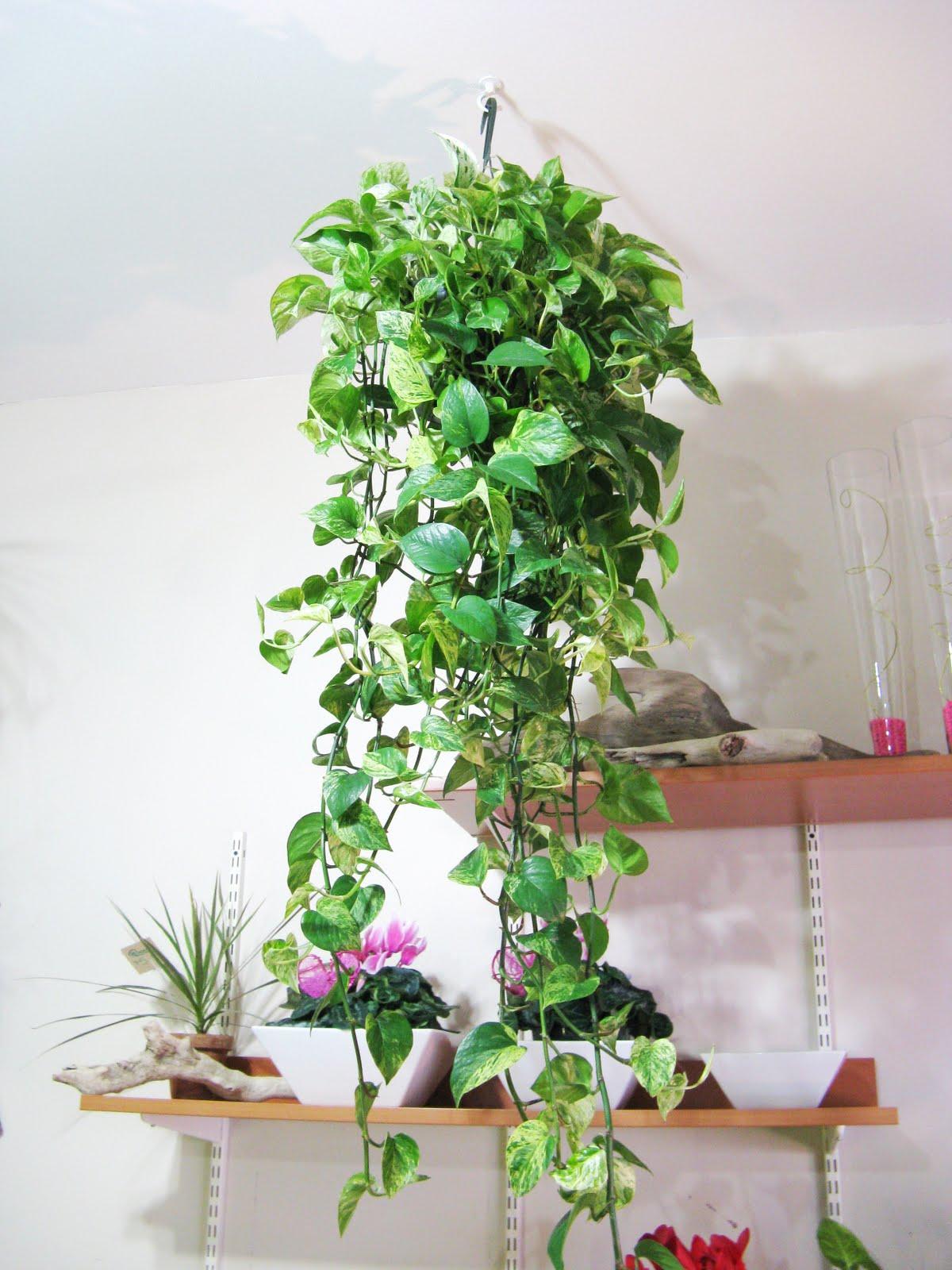 Flowering Indoor Hanging Plants