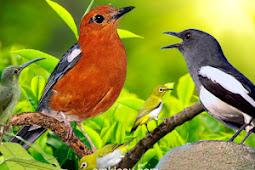 Perbedaan Cara Menurunkan Birahi Burung Koloni dan Teritorial