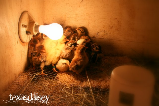 Texasdaisey Creations Care Of New Baby Chicks