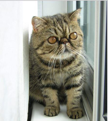 Gambar Kucing Exotic Shorthair