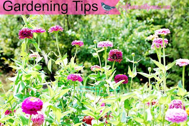 zinnias-gardening-garden-seeds-fall-tips-athomewithjemma.com