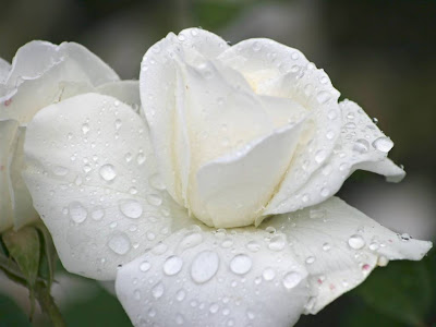 White Rose Normal Resolution HD Wallpaper 4