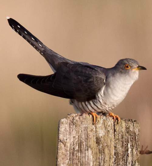 Indian birds - Picture of Common cuckoo - Cuculus canorus