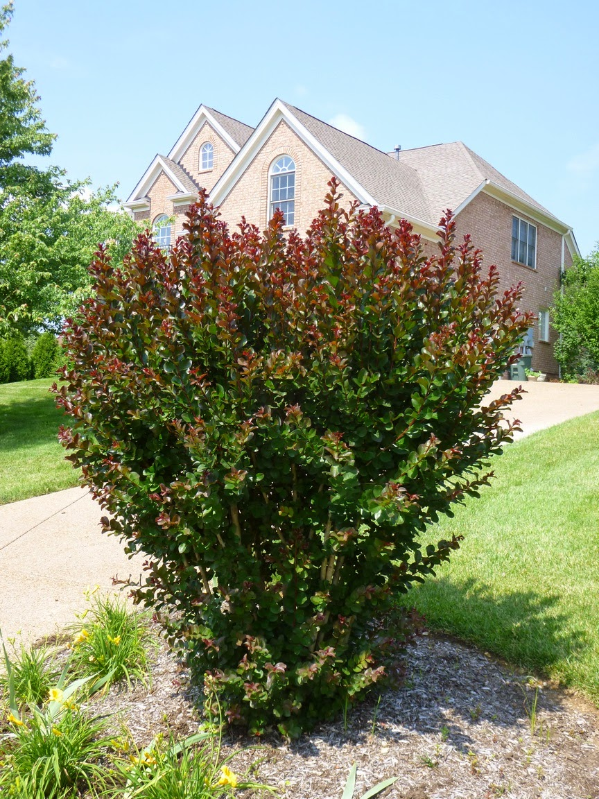 Best case crape murder scenario - pollard crape myrtle with numerous suckers behaving like a shrub