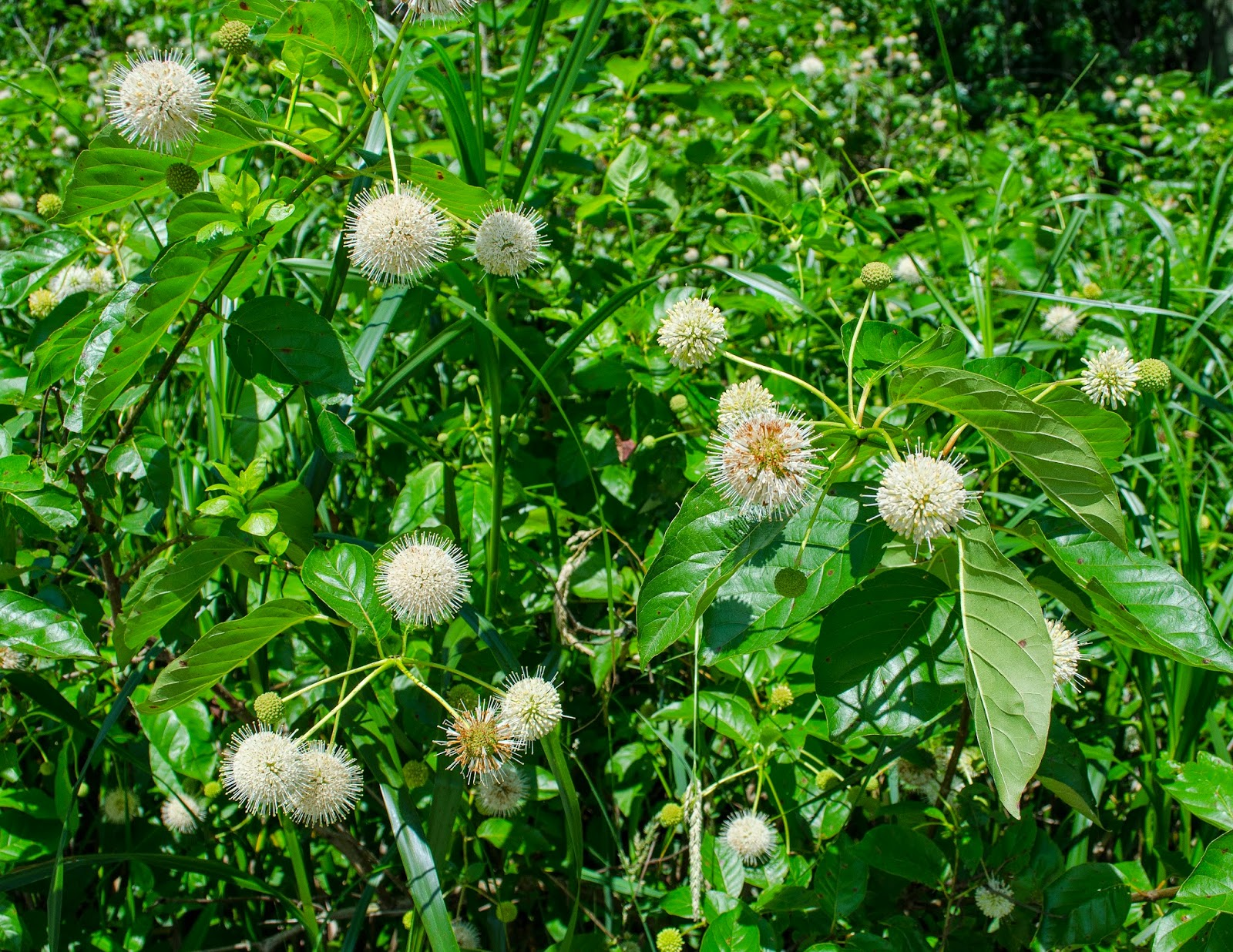 Common Buttonbush, Cephalanthus occidentalis